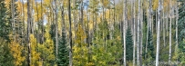 Mixed forest in fall, Santa Fe National Forest, NM