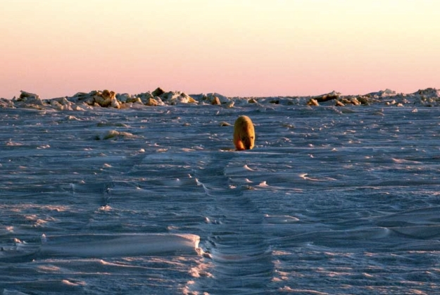 Polar Bear on the sea ice in the Chukchi Sea, north of Bering Strait, March 18 2015. (Credit MLAE)