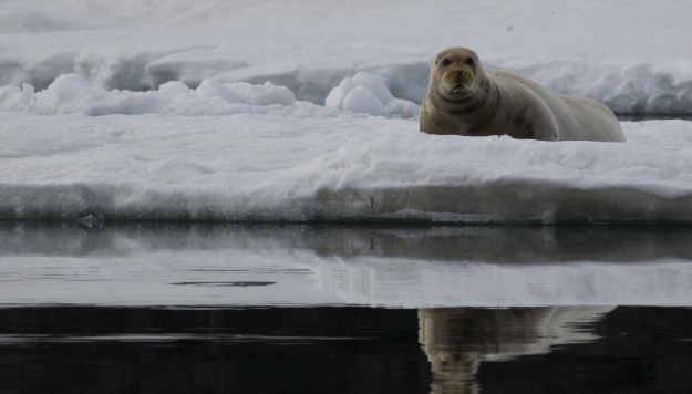 Svalbard, Bearded Seal, Eleanor O'Hanlon