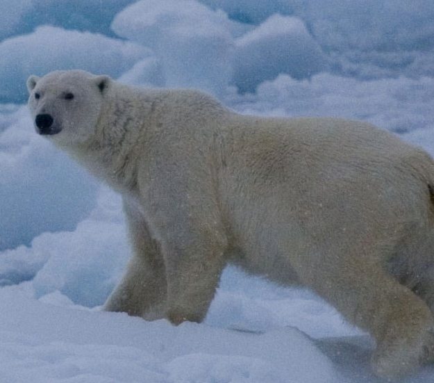 Svalbard Polar Bear, Eleanor O'Hanlon