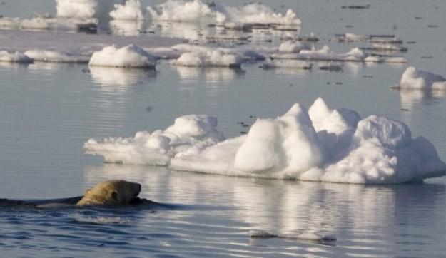Polar bear, Svalbard. Image: Eleanor O'Hanlon