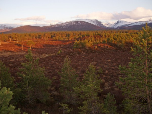 Clearing of heather, bog and young pine, Rothiemurchus Forest. Image: Dorothy Carse, 2008 Geograph.org.uk