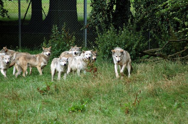 European Wolf Pack, By Harlequeen from Cambridge, United Kingdom (Wolf Pack  Uploaded by Uploader of foxes) [CC BY 2.0 (http://creativecommons.org/licenses/by/2.0)], via Wikimedia Commons