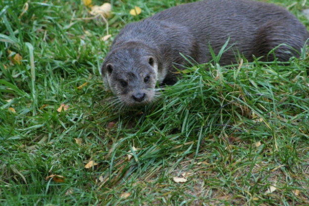 European Otter at the Highland Wildlife Park. By sylvia duckworth [CC BY-SA 2.0 (http://creativecommons.org/licenses/by-sa/2.0)], via Wikimedia Commons