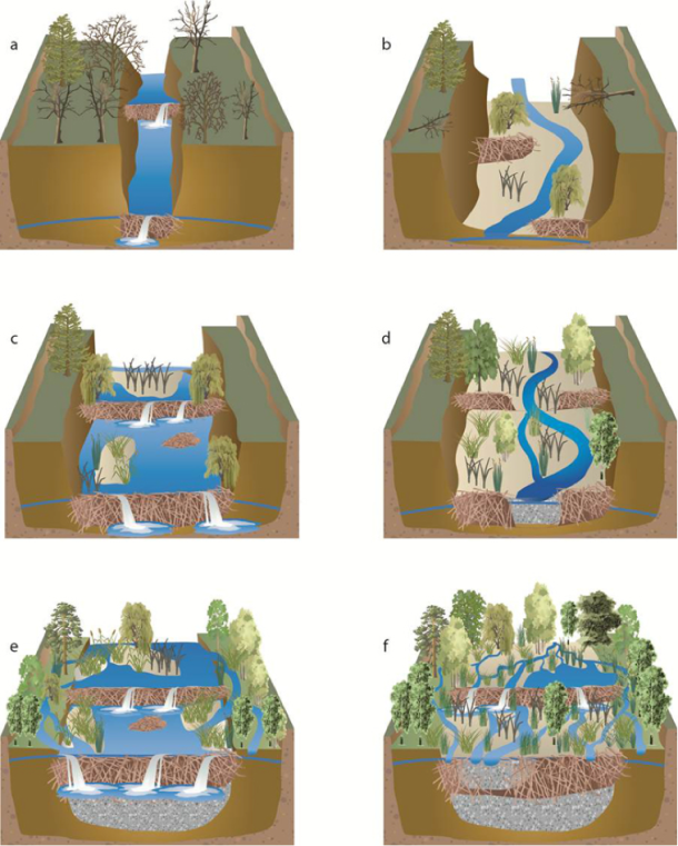 """Page 27. Stream restoration in partnership with beaver. """"Beaver dams help a stream to progress from an incised trench (a) to an aggraded channel (e–f) by creating a positive feedback loop that changes physical processes and vegetation to improve habitat for themselves and other species. """" From Pollock, Michael, Chris Jordan, Nick Bouwes, Joseph Wheaton, Carol Volk, Nicholas Weber, Jason Hall, and Josh Goldsmith. """"Working with Beaver to Restore Salmon Habitat.""""   http://www.nwfsc.noaa.gov/research/divisions/fe/wpg/beaver-assist-stld.cfm"""