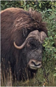 Musk Ox Bull just before charging Foreman © Dave Foreman