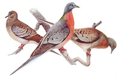 Passenger pigeon w juvenile male and female - Public Domain